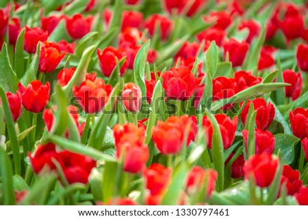 RED Tulip at Buak Haad ParkPark Mueang Chiang Mai Province northern Thailand