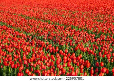 Red tulip field with diagonal lines in warm evening light.