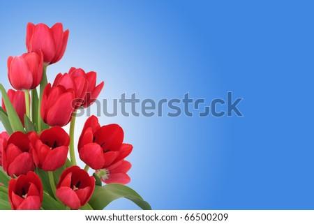 Blue Tulip Flower