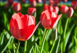 Red tulip flower bloom on background of blurry red tulips flowers