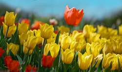 Red tulip flower bloom on background of blurry yellow tulips in tulips garden. Spring flowers Tulips.