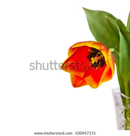 red tulip flower in glass vase isolated on white background