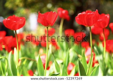 red tulip flowers enjoy the sunshine