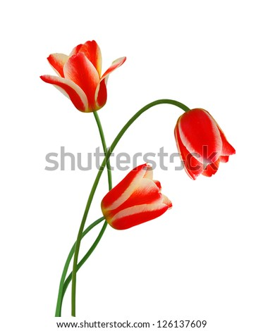 Red tulip flowers isolated on white background