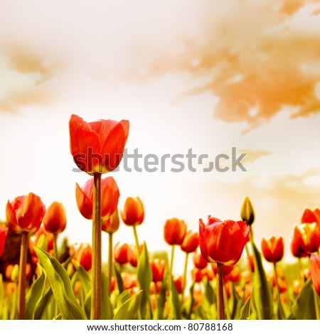 Red Tulip Flowers Meadow Against Sunset Sky