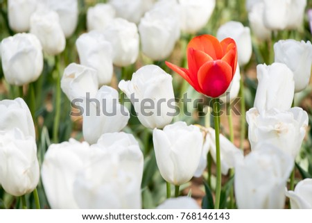 Red tulip growth among white tuplip background (Concept for differentiate from other, leader or unique)