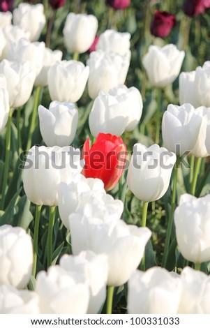 Red tulip in white tulip flower field