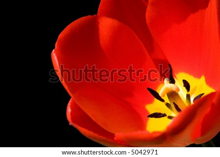 Red tulip isolated on black