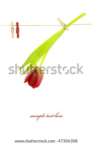 red tulip on a clothes line. White background. With sample text