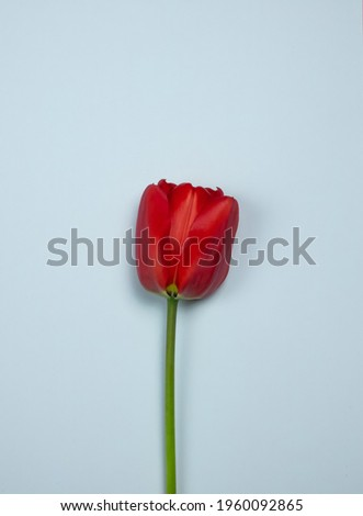 Red tulip on white background Stock fotó ©