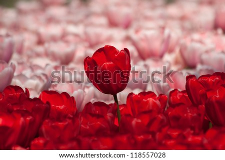 Red Tulip Standing Above A Group of Pink and Red Tulips