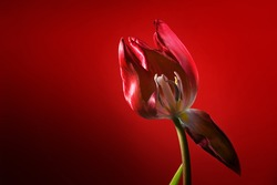 Red tulip with one withered petal opening the view to stamen and pistil, dark red background, love symbol or concept for become and pass away, copy space, selected focus, narrow depth of field