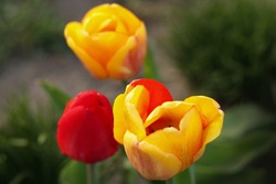 Red tulips against green foliage background. Red Species tulip. Red floral background. Tulips baground. Red tulip field. Tulips backdrop.