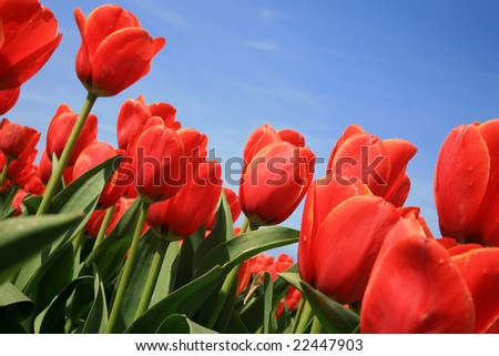 Red tulips and blue sky, across composition.