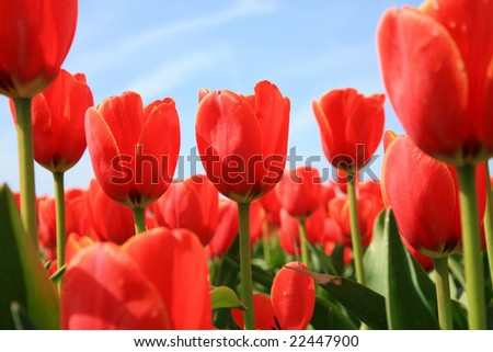 Red tulips and blue sky - spring in Netherlands