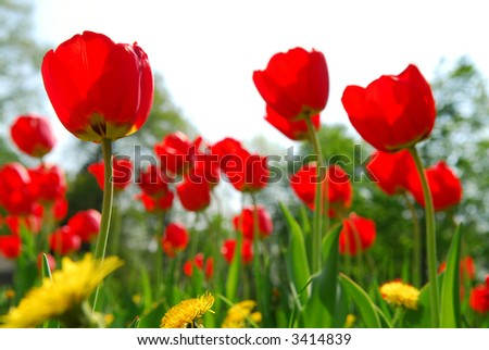 Red tulips and yellow dandelions flowers blooming in a spring field