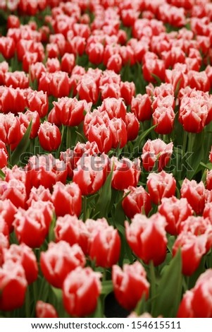 Red Tulips - center of attention. Red tulips with green. Focus is in the group of tulips in the center of photograph.
