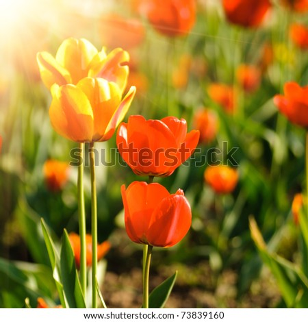 Red tulips field, Shallow DOF. Spring background