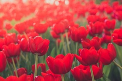 Red tulips field with the sunlight. Famous beautiful flower bloom in spring day. Natural red tulips with selective focus. Flower garden background.