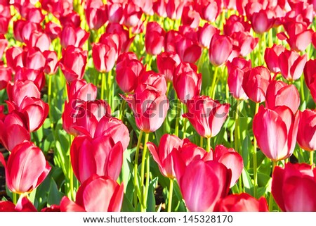 Red tulips flower garden