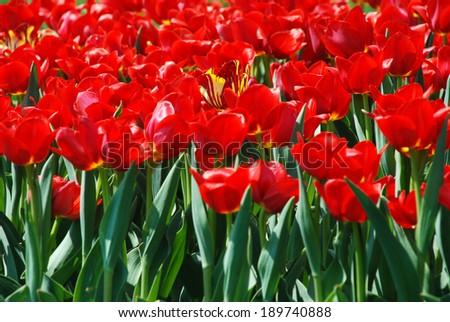 Red tulips in botanical garden, April, Ukraine/Red tulips/Red tulips in botanical garden, April, Ukraine