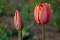Red tulips in close-up. Open and closed bud tulip. Bright tulip flowers from all sides. Flowers for the holiday of spring. Beautiful flowers