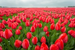 Red tulips in field. close up of flowers