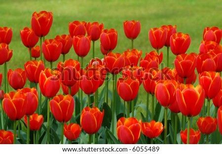 Red Tulips in front of grass