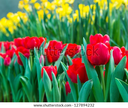 red tulips in garden - stock photo