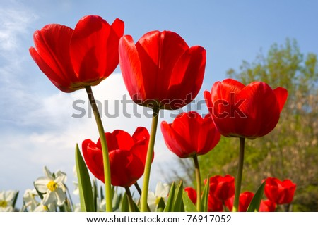 Red tulips in nice day