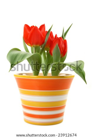 Red tulips in pot on white background