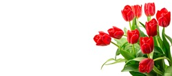 Red tulips isolated against white background - copyspace