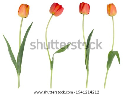 Red tulips isolated on a white background. Photo stock ©