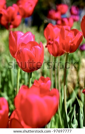 Red Tulips Meadow. Red Tulips Vertical Photograpy