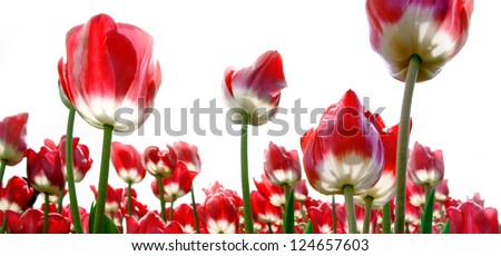 Red tulips on a white background. Panorama.