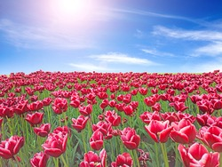 Red tulips on flower bed against blue sky. Red tulips planted in garden. Springtime garden. Plantation of beautiful flowers of red tulips. Blue sky above red flowers