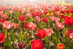 red tulips on natural background, summer flower in the garden