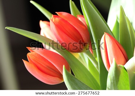 Red tulips. Red tulips on blurred background.