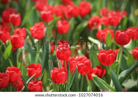Red Tulips (Tulipa) form a genus of spring-blooming perennial herbaceous bulbiferous geophytes