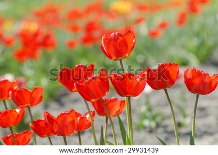 red tulips - Tulipa X Hybrida hort. Oxford