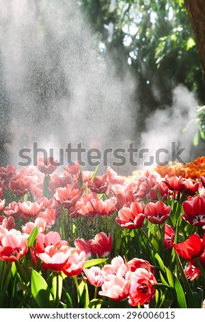 Red Tulips Under Spring Rain Red tulips under a sprinkler that made a rainbow and gave a rain effect.