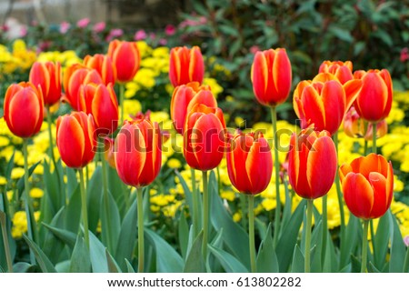 Red tulips with beautiful bouquet background, Tulip #613802282