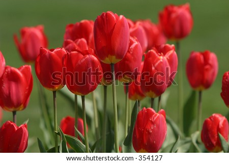 Red tulips with blurred background. Short depth of field (focus).