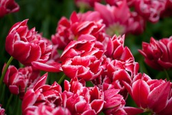 red tulips with raindrops close up