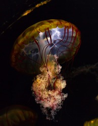 Red Turritopsis Nutricula Jellyfish with fluffy skirt in the center of oceanography and marine biology