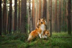 red two sheltie dogs in the green forest. Pet on the nature. tracking, hiking, travel