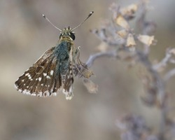 Red-underwing Skipper , Spialia setorius, one of the small brown butterflies ( Hesperidae species ) from Gard France
