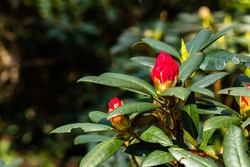 Red unopened rhododendron flower. Red rhododendron flower buds prepare to bloom in the spring sunshine. Opening red rhododendron buds in springtime