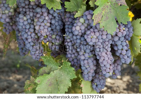 Red varietal wine grape clusters, on the vine, Autumn harvest time, California vineyards.