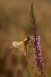 Red-veined darter Dragonfly Sympetrum fonscolombii with dewdrops hanging in the morning photographed with contra-light and a lot of sphere
